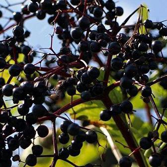 Black elderberries (Sambucus nigra)