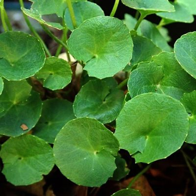 Centella Asiatica Extract (Gotu Kola)