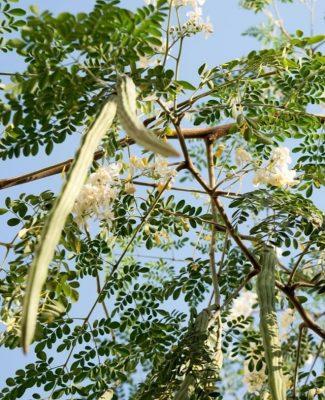 Moringa Oleifera (Moringa) Seed Oil