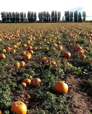 Cucurbita Pepo (Pumpkin) Seed Oil