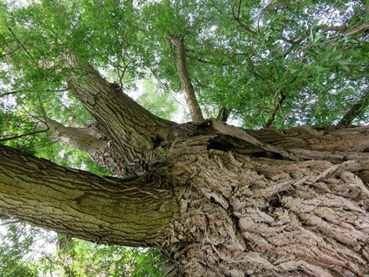 Salix Alba (Willow) Bark Extract