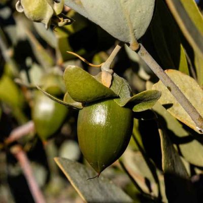 Simmondsia Chinensis (Jojoba) Seed Oil
