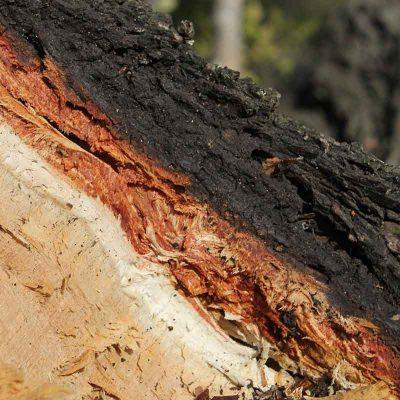 Soapbark Wood Extract